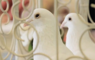 White Doves, Tampa, Lakeland